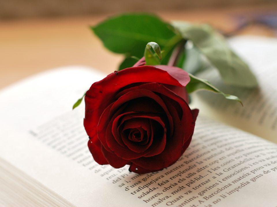 rosa-roja-de-sant-jordi